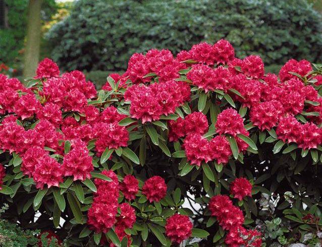 018689-Rhododendron-compact-Baden-Baden_1x800